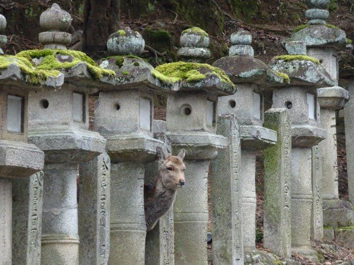 Deer in Japan temple