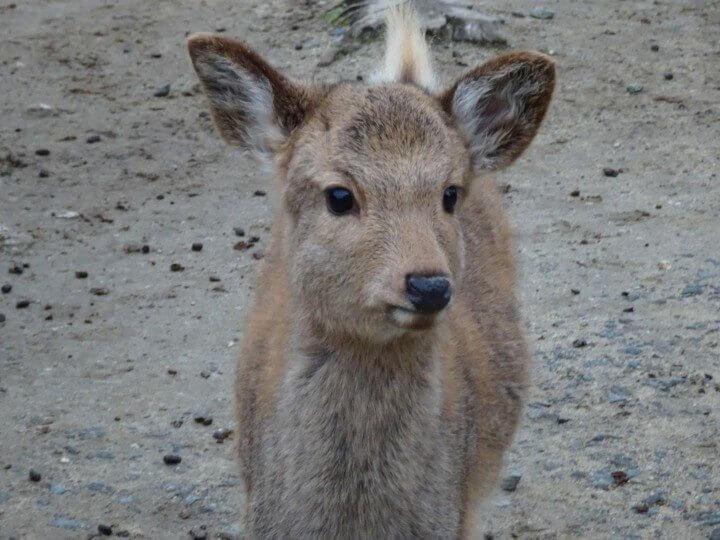 Nara Park Deer - Japan