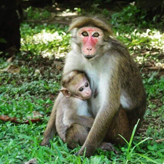 Long Tailed Macaque - Where to see monkeys in Sri Lanka