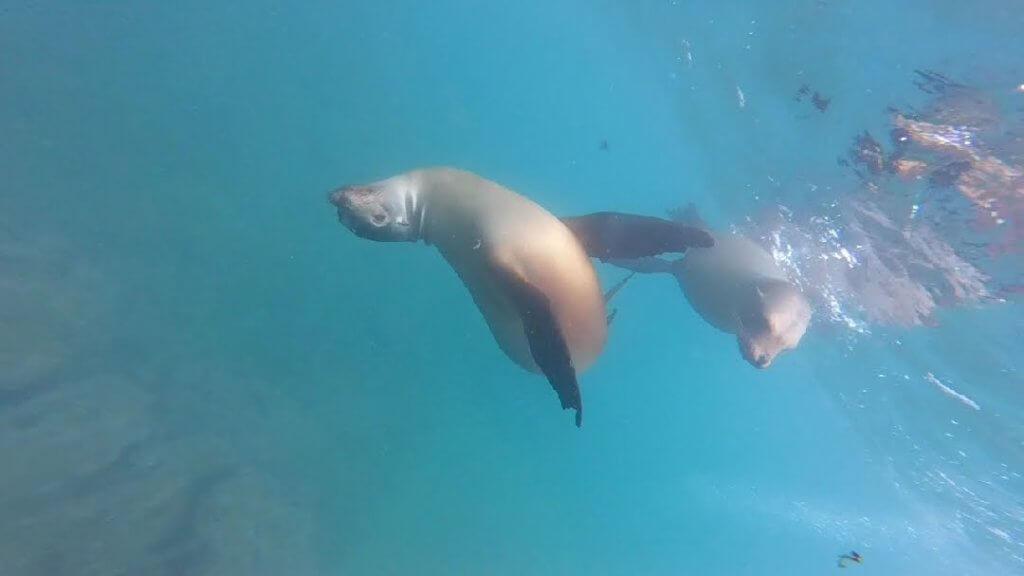 Sea lions underwater Galapagos