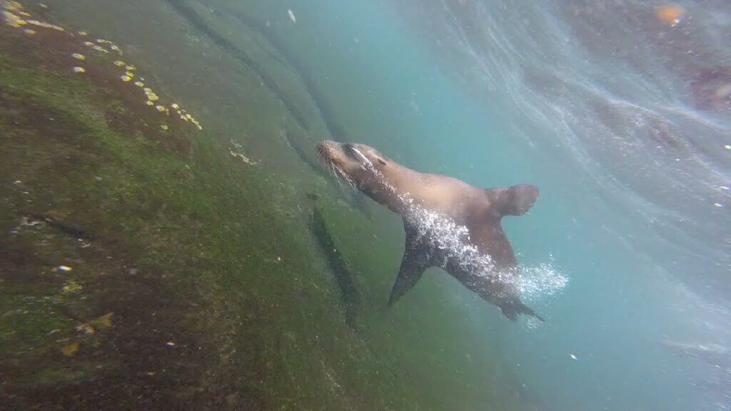 Sea lion in motion