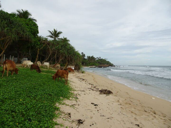 Beach Cows South Coast Sri Lanka