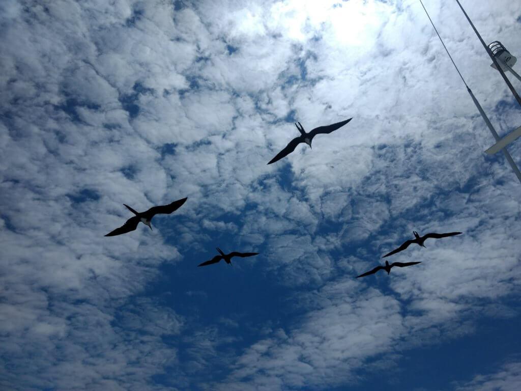Frigate birds following boat in Galapagos