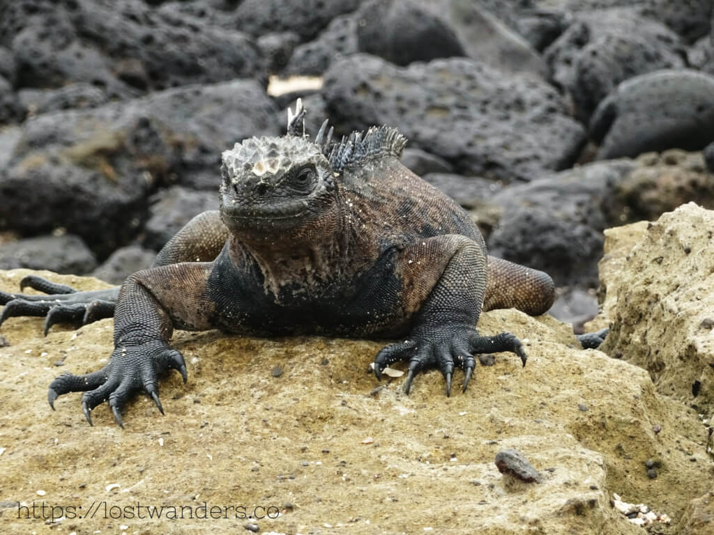 Iggy the Marine Iguana unique animals of the Galapagos