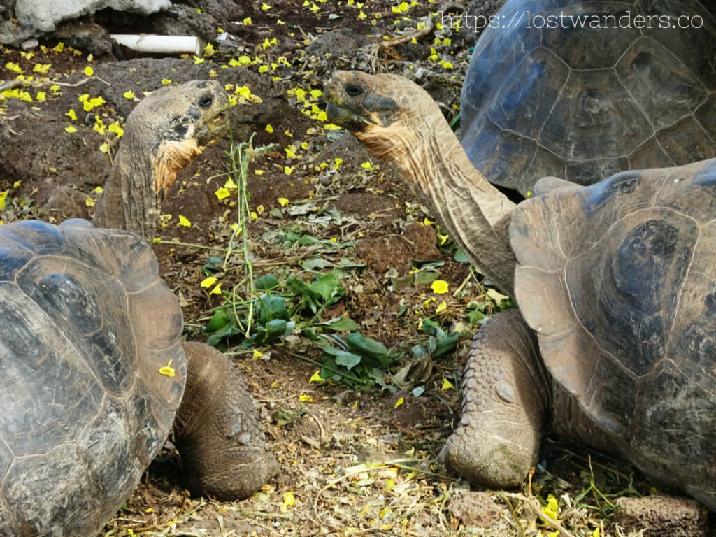 Tortoises, the greatest animals of the Galapagos Islands
