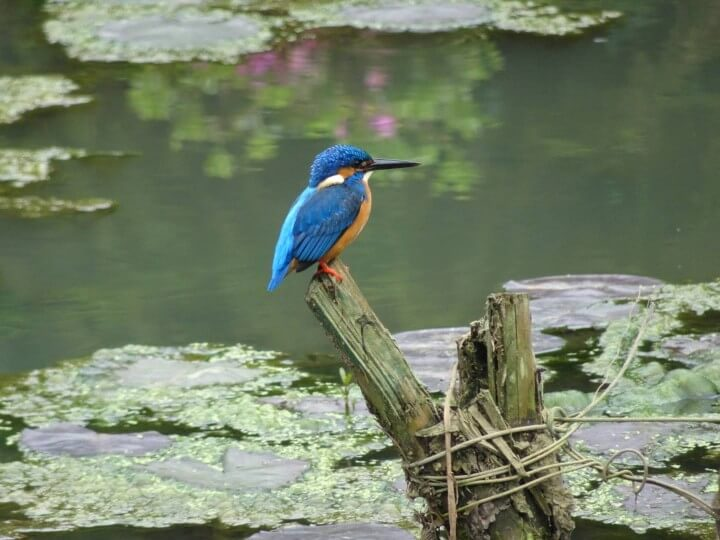 Kingfisher Sri Lanka