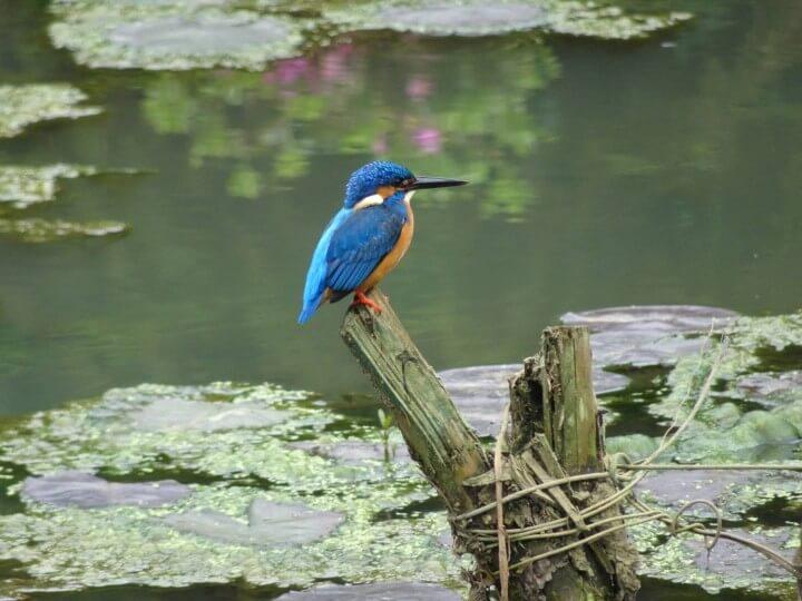 Kingfisher close up Sri Lanka