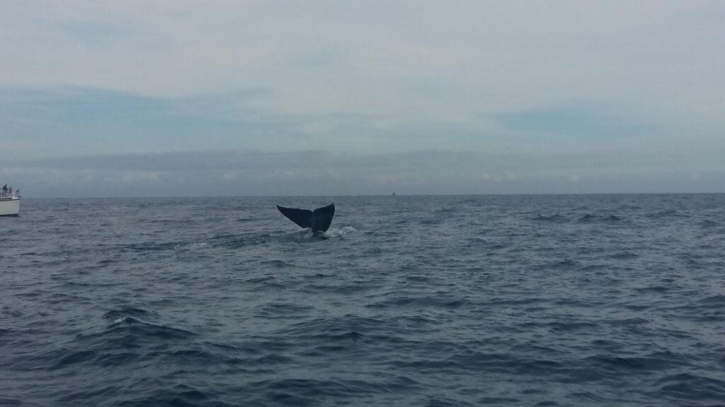 Blue whale fluke Sri Lanka